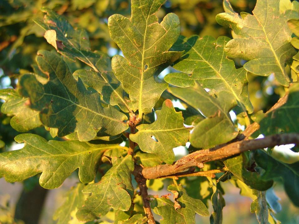 Вино из дубовых листьев